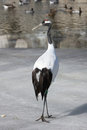 Red-crowned crane Royalty Free Stock Photo
