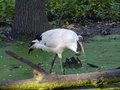 Red crowned crane grus japonensis Royalty Free Stock Photography