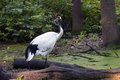 Red crowned crane grus japonensis Royalty Free Stock Images