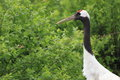 Red crowned crane s grus japonensis head Stock Images