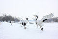 Red crowned crane in the winter of cranes Stock Images
