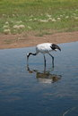 Red-crowned Crane Zhalong Wetl...