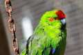 Red crowned parakeet caged the new zealand cyanoramphus novaezelandiae also known as kakariki is a member of the psittacidae Stock Image
