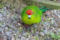 Red crowned parakeet the new zealand cyanoramphus novaezelandiae also known as kakariki is a member of the psittacidae family of Stock Images