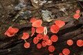 Red cup fungi Royalty Free Stock Photo