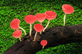 Red cup mushrooms family of on wood in the rain forest rayong thailand Stock Image