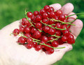 Red currant Stock Image