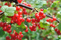 Red currant Royalty Free Stock Photo