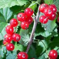 Red currant berries on a branch close up Royalty Free Stock Image