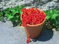 Red currant berries a clay pot is full of ripe ribes rubrum currants provide antioxidant benefits and up to of daily requirement Stock Photos