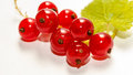 "Red currant berries are known as ""superfruits"" as they have naturally high antioxidant capacity currants can be eaten Royalty Free Stock Photo"