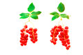 Red currant berries with leaves symbolizing the trees with roots Stock Images