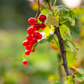 Red currant on a branch Stock Photography