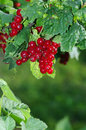 Red currant on the branch Royalty Free Stock Images