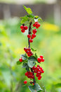 Red currant on a branch in the garden Stock Images