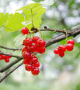 Red currant on a branch Royalty Free Stock Photo
