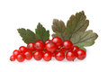 Red currant bunch Royalty Free Stock Photo