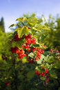 Red currant bush Stock Image
