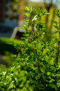 Red currant bush with flowers in the spring Stock Photo