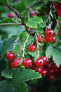 Red currant bush organic currants in the garden Royalty Free Stock Photography