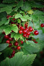 Red currant bush organic currants in the garden Royalty Free Stock Photos