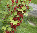 Red currant on the bush still life with ripe branch in garden Stock Image
