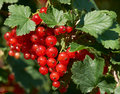 Red currant fruit Stock Images