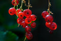 Red currant fruit on the shrub close up Royalty Free Stock Image