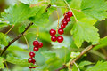 Red currant with green leaves around Stock Photo