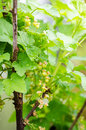 Red currant with a green unripe color Royalty Free Stock Photo