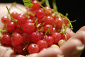 Red currant in hand Royalty Free Stock Photography