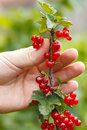 Red currant hand holding organic on branch in the garden Stock Images