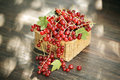 Red currant harvested berries in a small basket Stock Images