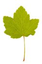 Red currant leaf isolated on white background Stock Photography