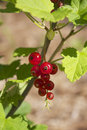 Red currant from our garden Royalty Free Stock Photo