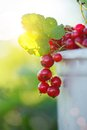 Red currant ripe fruit on plant branch on nature background. Royalty Free Stock Photo
