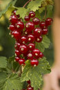 The red currants Royalty Free Stock Images