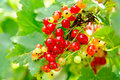 Red currants on the bush Stock Photography