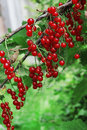 Red currants bush in the garden ripe Stock Images