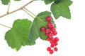 Red currants on the bush isolated white background Royalty Free Stock Photos