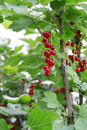 Red currants on bush organic Stock Image