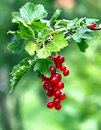 Red currants close up Royalty Free Stock Image