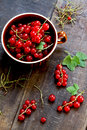 Red currants freshly picked from the garden Stock Photography