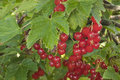 Red currants (Ribes rubrum) Royalty Free Stock Photos