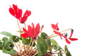 Red cyclamen flower Stock Photography
