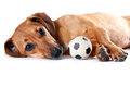 The red dachshund with a ball lies Stock Image