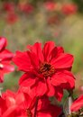 Red dahlia beautiful blooming in garden Stock Photography