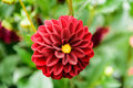 A red dahlia bloom in a garden