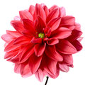 Red dahlia Royalty Free Stock Photo