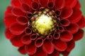 Red dahlia closeup on flower Royalty Free Stock Photos